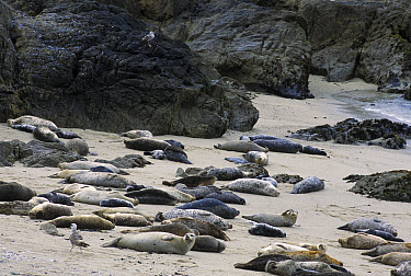Harbor Seal (Phoca vitulina) rookery on protected beach, Monterey, California  -  Suzi Eszterhas