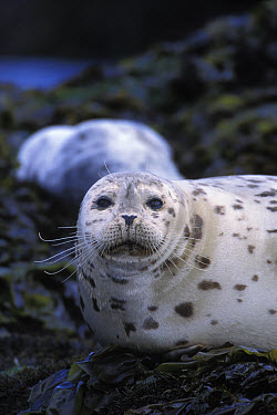 Harbor Seal (Phoca vitulina) portrait, Point Lobos State Reserve, California  -  Suzi Eszterhas