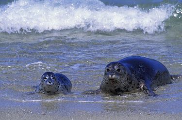 Harbor Seal (Phoca vitulina) mother and pup arriving on shore, Monterey Bay, California  -  Suzi Eszterhas