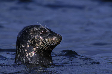 Harbor Seal (Phoca vitulina) female watching her pup intently, Monterey, California  -  Suzi Eszterhas