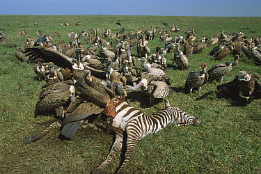 Ruppell's Griffon (Gyps rueppellii) and White-backed Vulture (Gyps africanus) group feeding on Zebra carcass, Tanzania, east Africa  -  Suzi Eszterhas
