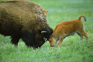 American Bison (Bison bison) cow and calf playing, Yellowstone National Park, Montana  -  Suzi Eszterhas