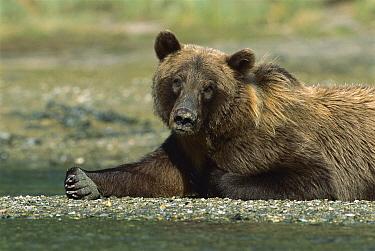 Grizzly Bear (Ursus arctos horribilis) resting on tidal flat, Katmai National Park, Alaska  -  Suzi Eszterhas