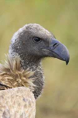 White-backed Vulture (Gyps africanus) portrait, Masai Mara National Reserve, Kenya  -  Suzi Eszterhas