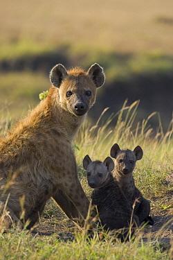 Spotted Hyena (Crocuta crocuta) mother and pups, Masai Mara National Reserve, Kenya  -  Suzi Eszterhas