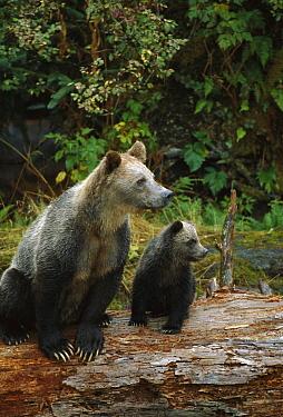 Grizzly Bear (Ursus arctos horribilis) sow and six month old cub, Knight Inlet, British Columbia, Canada  -  Suzi Eszterhas