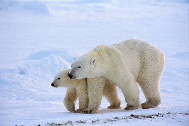 Polar Bear (Ursus maritimus) sow and 11 month old cub, Cape Churchill, Manitoba, Canada  -  Suzi Eszterhas