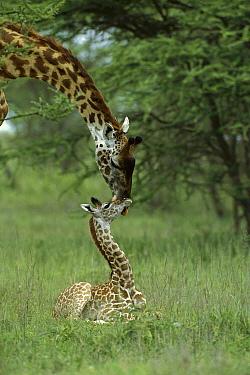 Masai Giraffe (Giraffa tippelskirchi) mother and newborn calf, Tanzania  -  Suzi Eszterhas