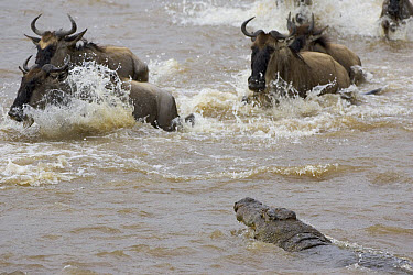 Nile Crocodile (Crocodylus niloticus) moving in on Blue Wildebeest (Connochaetes taurinus), Masai Mara National Reserve, Kenya  -  Suzi Eszterhas