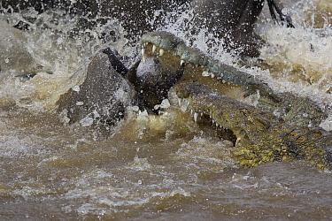 Nile Crocodile (Crocodylus niloticus) pair attacking a Blue Wildebeest (Connochaetes taurinus), Masai Mara National Reserve, Kenya  -  Suzi Eszterhas