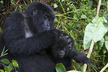 Mountain Gorilla (Gorilla gorilla beringei) mother grooming 10 month old infant, endangered, Parc National Des Volcans, Rwanda  -  Suzi Eszterhas