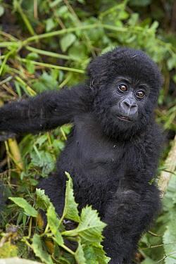 Mountain Gorilla (Gorilla gorilla beringei) 10 month old infant portrait, endangered, Parc National Des Volcans, Rwanda  -  Suzi Eszterhas