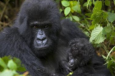 Mountain Gorilla (Gorilla gorilla beringei) mother and three month old infant, endangered, Parc National Des Volcans, Rwanda  -  Suzi Eszterhas