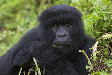 Mountain Gorilla (Gorilla gorilla beringei) adult feeding on wild celery, endangered, Parc National Des Volcans, Rwanda  -  Suzi Eszterhas