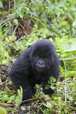 Mountain Gorilla (Gorilla gorilla beringei) five year old baby, endangered, Parc National Des Volcans, Rwanda  -  Suzi Eszterhas