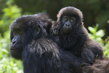 Mountain Gorilla (Gorilla gorilla beringei) 10 month old infant riding on mother's back, endangered, Parc National Des Volcans, Rwanda  -  Suzi Eszterhas