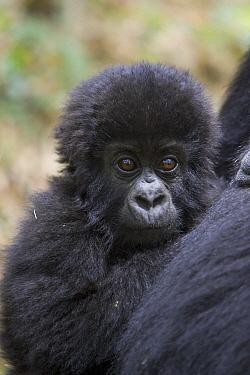 Mountain Gorilla (Gorilla gorilla beringei) 10 month old infant resting against mother's chest, endangered, Parc National Des Volcans, Rwanda  -  Suzi Eszterhas