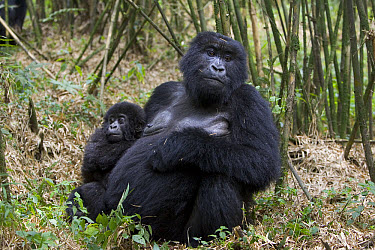 Mountain Gorilla (Gorilla gorilla beringei) mother with 10 month old infant, endangered, Parc National Des Volcans, Rwanda  -  Suzi Eszterhas
