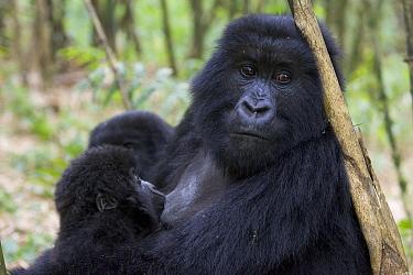 Mountain Gorilla (Gorilla gorilla beringei) 10 month old infant nursing, endangered, Parc National Des Volcans, Rwanda  -  Suzi Eszterhas