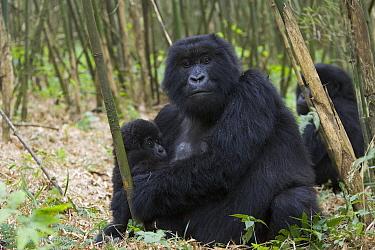Mountain Gorilla (Gorilla gorilla beringei) mother holding 10 month old infant, endangered, Parc National Des Volcans, Rwanda  -  Suzi Eszterhas
