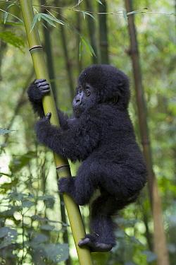 Mountain Gorilla (Gorilla gorilla beringei) 10 month old infant playfully climbing bamboo pole, endangered, Parc National Des Volcans, Rwanda  -  Suzi Eszterhas
