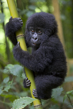 Mountain Gorilla (Gorilla gorilla beringei) 10 month old infant playfully climbing bamboo pole, endangered, Parc National Des Volcans, Rwanda  -  Suzi Eszterhas