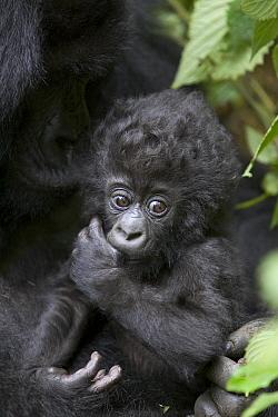 Mountain Gorilla (Gorilla gorilla beringei) three month old infant sucking on thumb, endangered, Parc National Des Volcans, Rwanda  -  Suzi Eszterhas