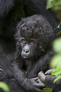 Mountain Gorilla (Gorilla gorilla beringei) three month old infant, endangered, Parc National Des Volcans, Rwanda  -  Suzi Eszterhas