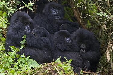 Mountain Gorilla (Gorilla gorilla beringei) two mothers hold newborn infants (2-3 weeks old) with sub-adults nearby, endangered, Parc National Des Volcans, Rwanda  -  Suzi Eszterhas