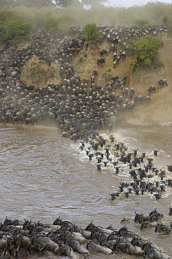 Blue Wildebeest (Connochaetes taurinus) crossing the Mara River during migration, Masai Mara National Reserve, Kenya  -  Suzi Eszterhas