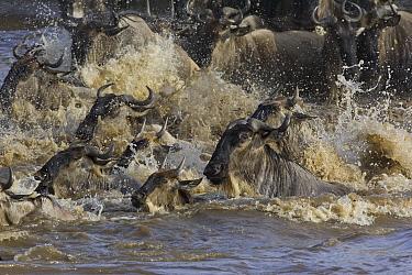 Blue Wildebeest (Connochaetes taurinus) crossing the Mara River during migration, Masai Mara National Reserve, Kenya  -  Suzi Eszterhas
