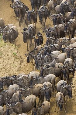 Blue Wildebeest (Connochaetes taurinus) herd approaching banks of the Mara River during migration, Masai Mara National Reserve, Kenya  -  Suzi Eszterhas