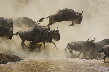Blue Wildebeest (Connochaetes taurinus) leaping into the Mara River during migration, Masai Mara National Reserve, Kenya  -  Suzi Eszterhas