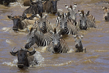 Burchell's Zebra (Equus burchellii) herd including a 2-3 week old foal and Blue Wildebeest (Connochaetes taurinus) migrating across the Mara River, Masai Mara National Reserve, Kenya  -  Suzi Eszterhas