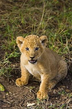 African Lion (Panthera leo) five week old cub, vulnerable, Masai Mara National Reserve, Kenya  -  Suzi Eszterhas