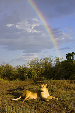 African Lion (Panthera leo) adult female with rainbow in background, vulnerable, Masai Mara National Reserve, Kenya  -  Suzi Eszterhas