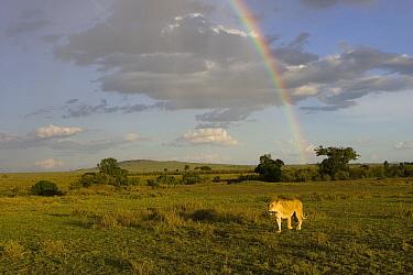 African Lion (Panthera leo) adult female with rainbow in background, vulnerable, Masai Mara National Reserve, Kenya  -  Suzi Eszterhas