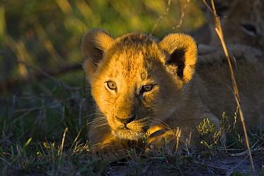 African Lion (Panthera leo) six to seven week old cub at sunrise, vulnerable, Masai Mara National Reserve, Kenya  -  Suzi Eszterhas
