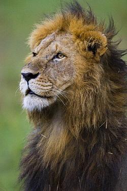 African Lion (Panthera leo) large male, vulnerable, Masai Mara National Reserve, Kenya  -  Suzi Eszterhas