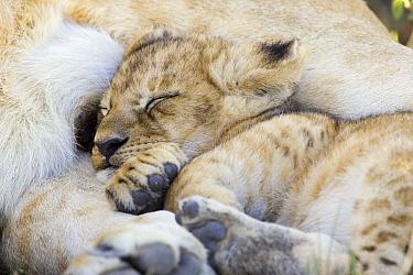 African Lion (Panthera leo) six to seven week old cub sleeping against mother, vulnerable, Masai Mara National Reserve, Kenya  -  Suzi Eszterhas