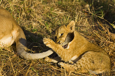 African Lion (Panthera leo) seven to eight week old cub playing with its mother's tail, vulnerable, Masai Mara National Reserve, Kenya  -  Suzi Eszterhas