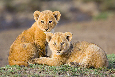 African Lion (Panthera leo) four to five week old cubs, vulnerable, Masai Mara National Reserve, Kenya  -  Suzi Eszterhas