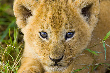 African Lion (Panthera leo) five week old cub portrait, vulnerable, Masai Mara National Reserve, Kenya  -  Suzi Eszterhas