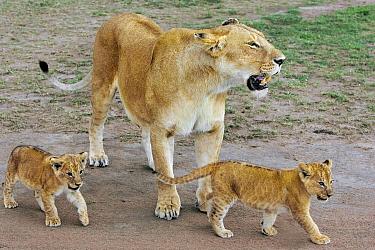 African Lion (Panthera leo) mother and six to seven week old cubs, vulnerable, Masai Mara National Reserve, Kenya  -  Suzi Eszterhas