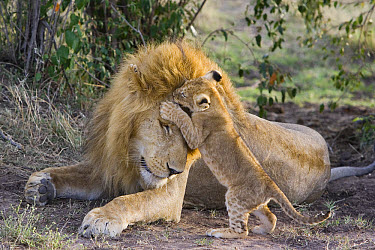 African Lion (Panthera leo) seven to eight week old cub playing with adult male, vulnerable, Masai Mara National Reserve, Kenya  -  Suzi Eszterhas