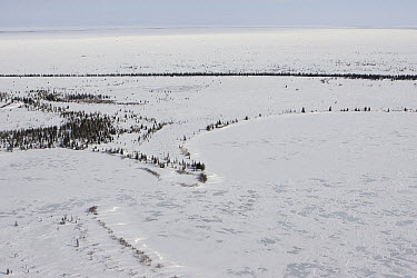 Spruce (Picea sp) trees and lakeshore make up Polar Bear (Ursus maritimus) denning habitat of the Western Hudson Bay population, Wapusk National Park, Manitoba, Canada  -  Suzi Eszterhas