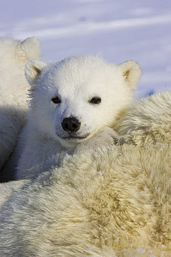Polar Bear (Ursus maritimus) three to four month old cub peeking over mother's body while she is tranquilized by researchers, vulnerable, Wapusk National Park, Manitoba, Canada  -  Suzi Eszterhas