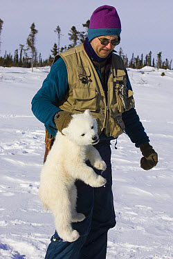 Polar Bear (Ursus maritimus) researcher Nick Lunn carries a tranquilized three to four month old cub by the scruff during examination, vulnerable, Wapusk National Park, Manitoba, Canada  -  Suzi Eszterhas
