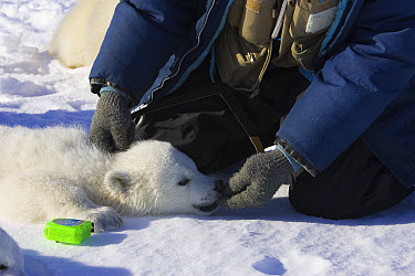 Polar Bear (Ursus maritimus) graduate student Greg Theimann measures the skull length of a tranquilized three to four month old cub, vulnerable, Wapusk National Park, Manitoba, Canada  -  Suzi Eszterhas