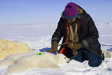Polar Bear (Ursus maritimus) researcher Nick Lunn measures the skull length of a three to four month old cub, vulnerable, Wapusk National Park, Manitoba, Canada  -  Suzi Eszterhas